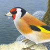 Goldfinch+Longford
