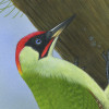 greenwoodpecker