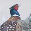 pheasant1