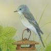 spottedflyercatcher2